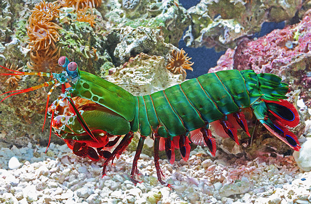 Meet the creature with the best eyes in the world – The Mantis Shrimp